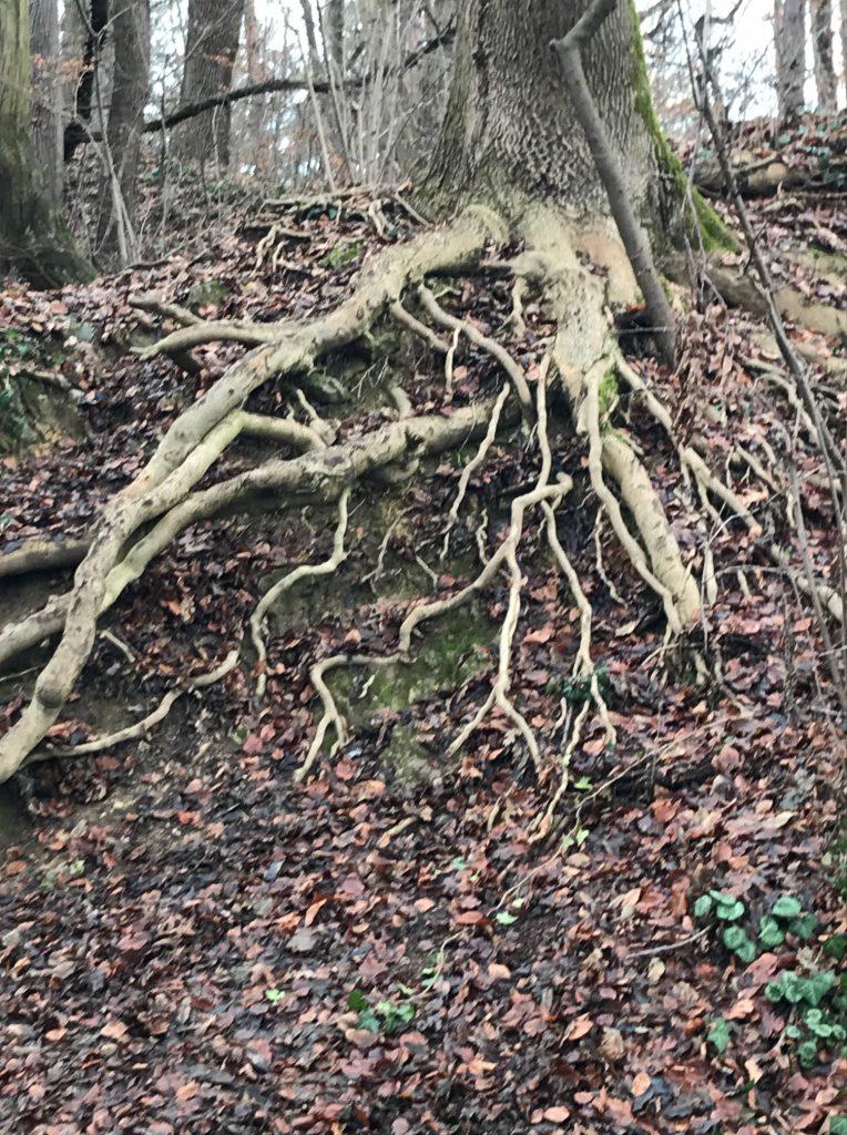 Wurzeln eines Baums